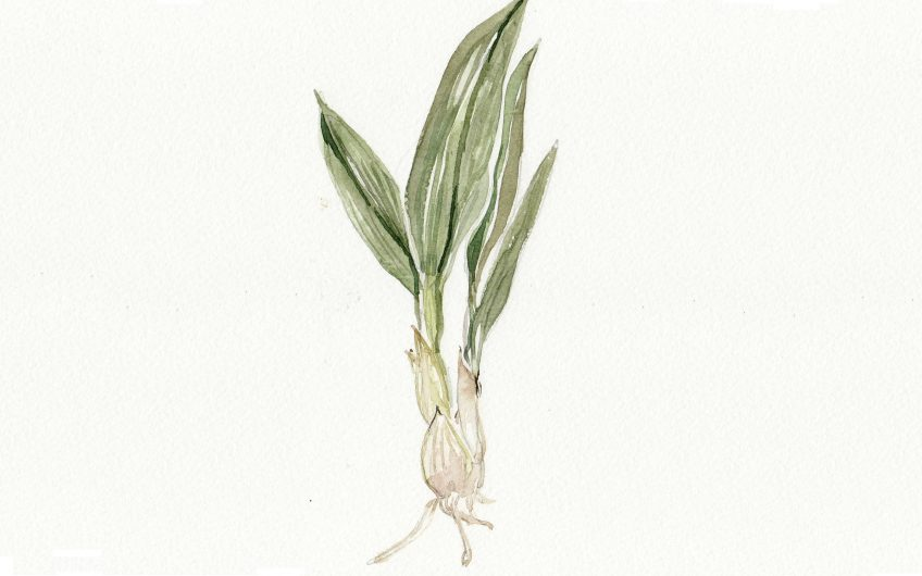 Wild Garlic Small2