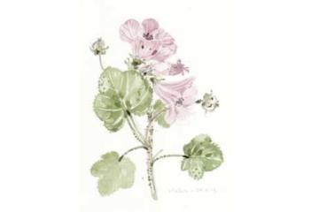 In flower this month: Malva sylvestris
