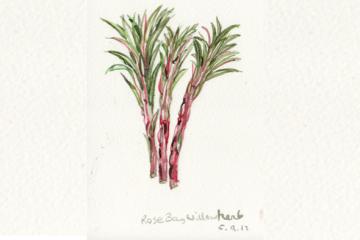 A taste of rosebay willowherb