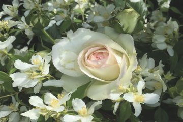 What a good year for the roses –and what a sad day for David Austin fans