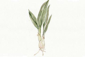 Allium ursinum, our native wild garlic