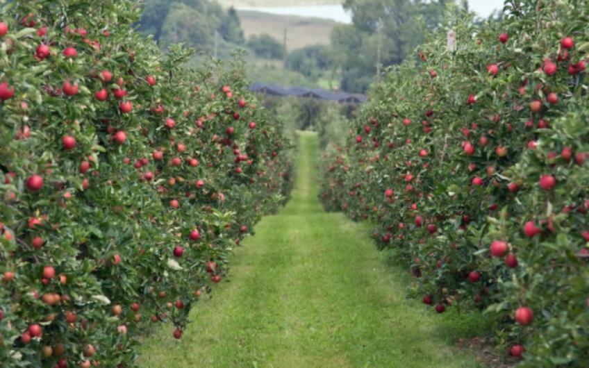 Kitchen Garden: Apples