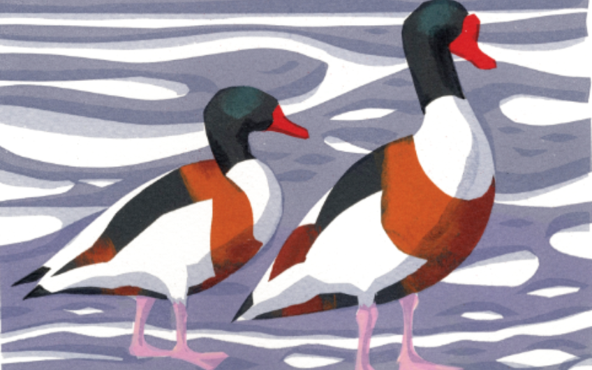 Bird of the Month: The Shelduck
