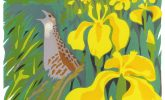 Bird of the Month, the Corncrake