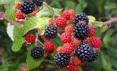 The joy of blackberry-picking
