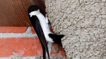 The strange death of our village house martins - Giles Wood