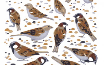 Bird of the Month: Sparrow