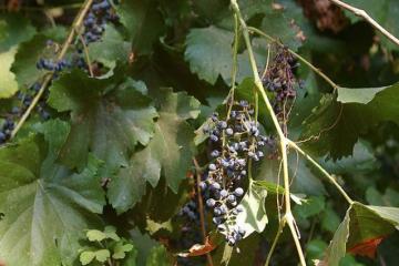 Drink: A corker from Korčula, by Bill Knott