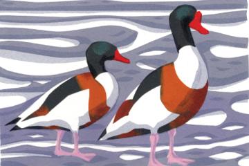 Bird of the Month: The Shelduck