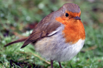 Words and Stuff: Of  round robins and Redbreasts…