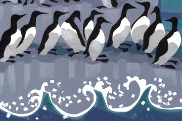 Bird of the Month: The Guillemot's Christmas Dance
