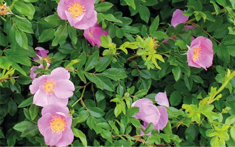 David Wheeler - Coming up roses