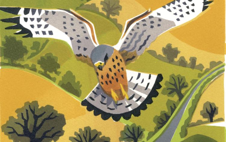 Bird of the Month: the Kestrel